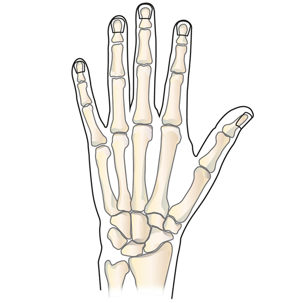 Wrist and Thumb Anatomy